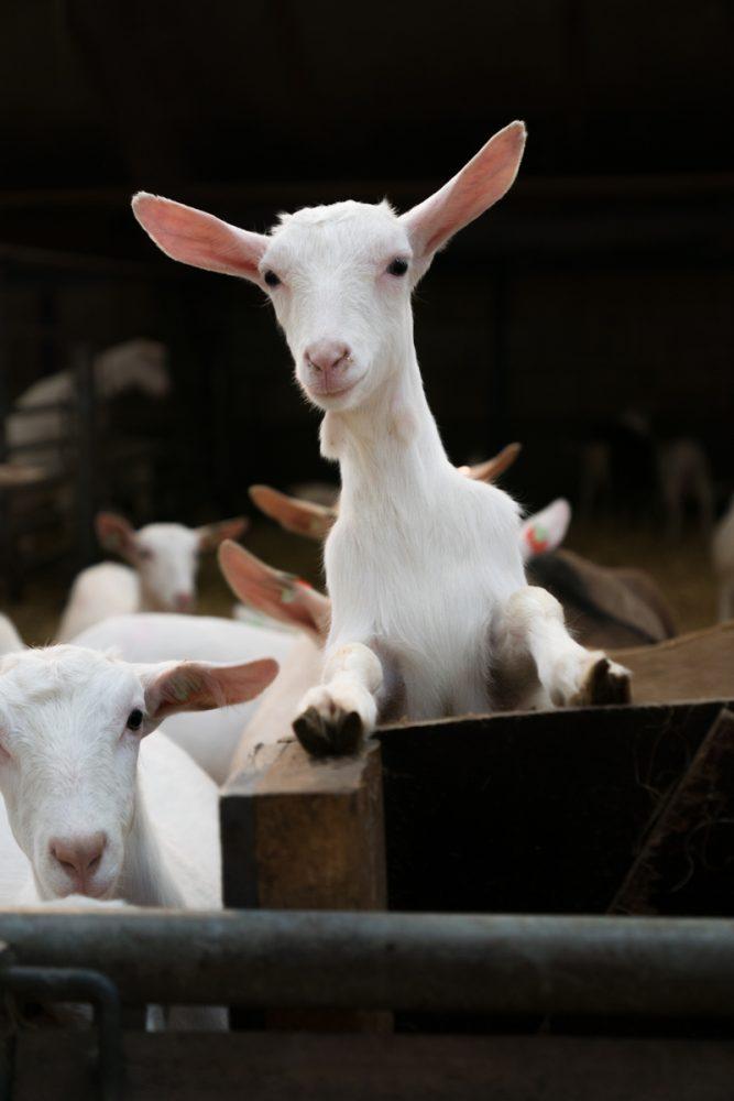 bettine geitenkaas geiten de hoon