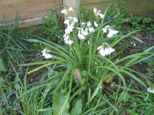 Three-cornered leeks are delicious in salads and cooking.
