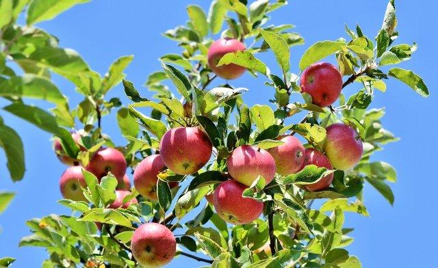 élagage d'arbre fruitier