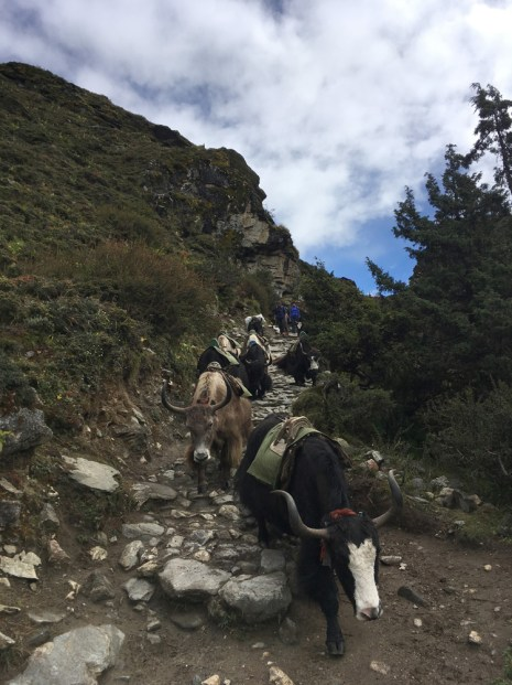 Yaks carrying goods along the trail