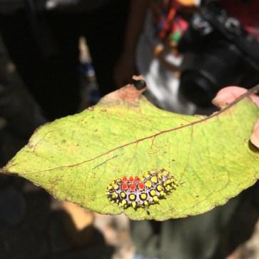 一種蛾的幼蟲