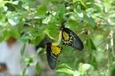 交配中的蝴蝶