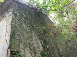 士多前的石屋已被植物蓋住了整幅外牆