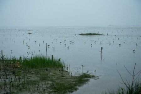雀鳥在泥灘覓食