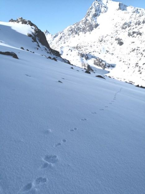 Foot print of snow leopard