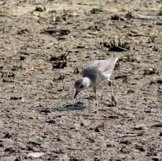 灰鴴 Grey Plover - 冬季過境遷徒鳥