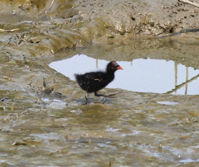 黑水雞幼鳥