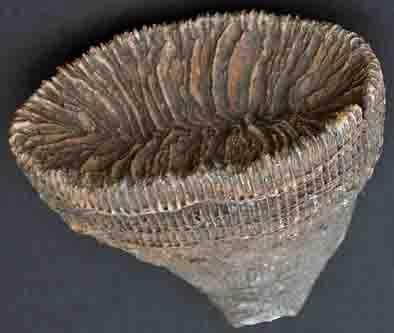 Solitair koraal uit het Boven-Krijt van Noord-Spanje. Grootste doorsnede 6 cm.