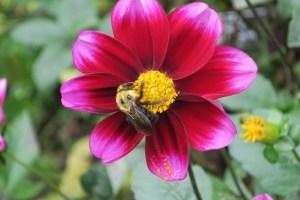 Magenta Daisy with bee