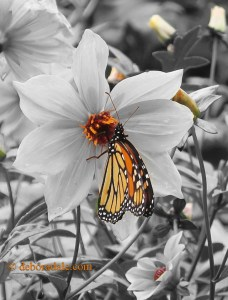 Black and white picture of white flower with colorized monarch butterfly