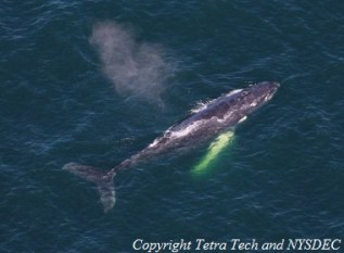 Aerial photograph of a humpback whale