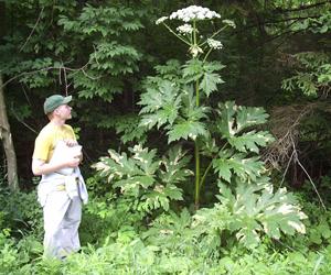 Bunga Giant Hogweed