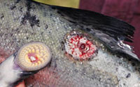 Fresh lamprey wound on a fish and the lamprey that was removed from the fish.