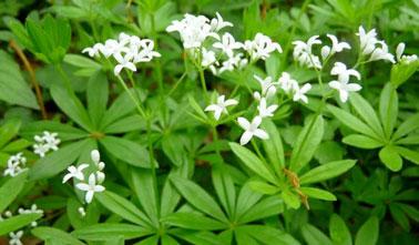 L'aspérule odorante est très connue comme plante anti-moustique. Elle peut être cultivée dans le jardin ou en pot sur la terrasse pour faire barrage aux moustiques.