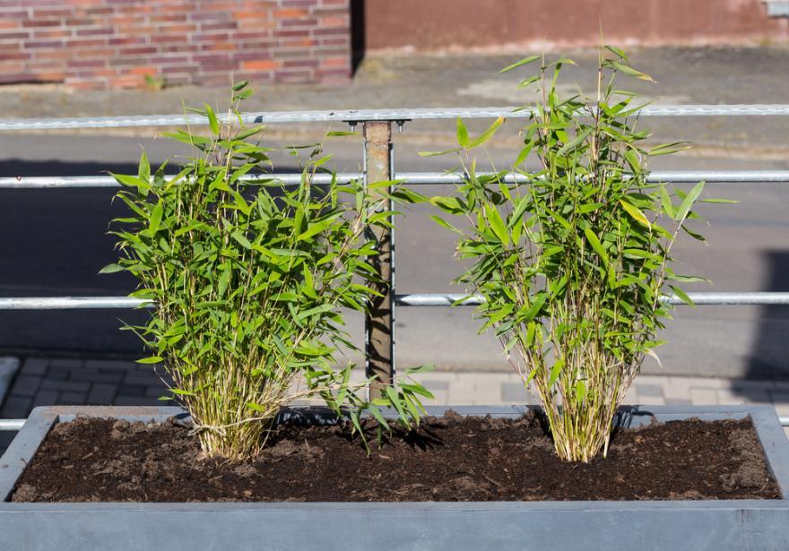 bambou fargesia entretien arrossage