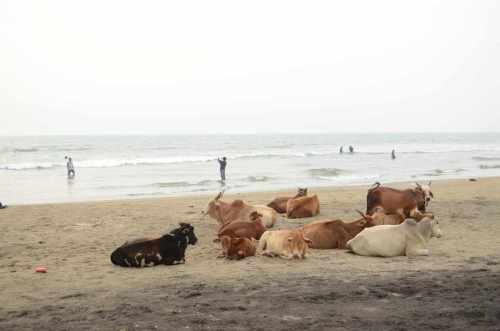 India vaches sur plage
