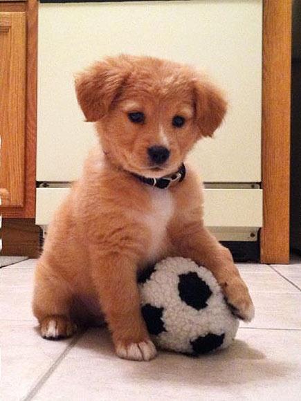 football pet