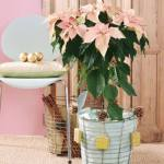 Arreglos de Navidad con flor de pascua de estilo vintage 7