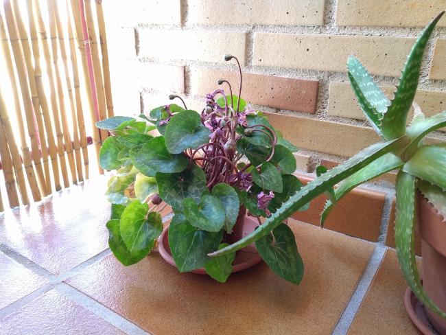 plantas vivas para decorar - ciclamen
