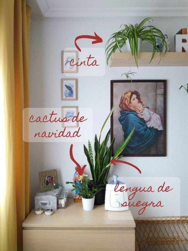 plantas vivas para decorar - cinta, cactus de navidad, lengua de suegra