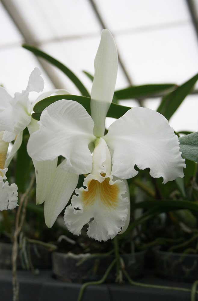 Orquídea Cattleya Mossiae: espécie natural das florestas venezuelanas. Essa orquídea de pequeno porte surpreende pela exuberância de suas flores brancas mescladas no centro com cores que vão do amarelo ao roxo