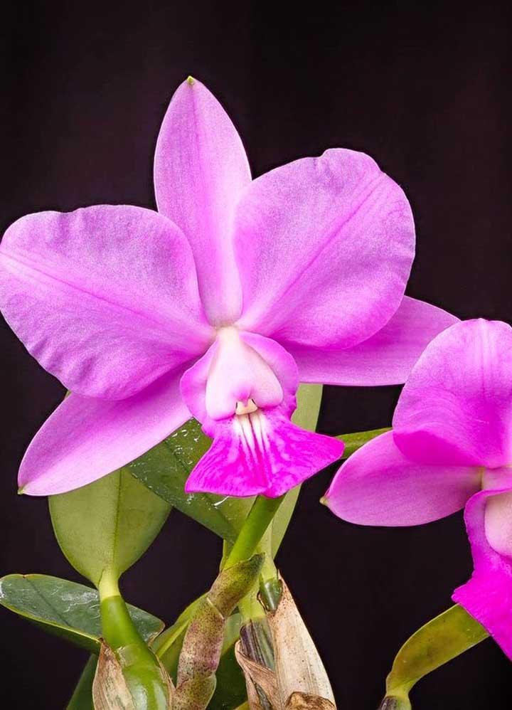 A orquídea Cattleya Walkeriana pode chegar a custar cerca de R$ 3 mil