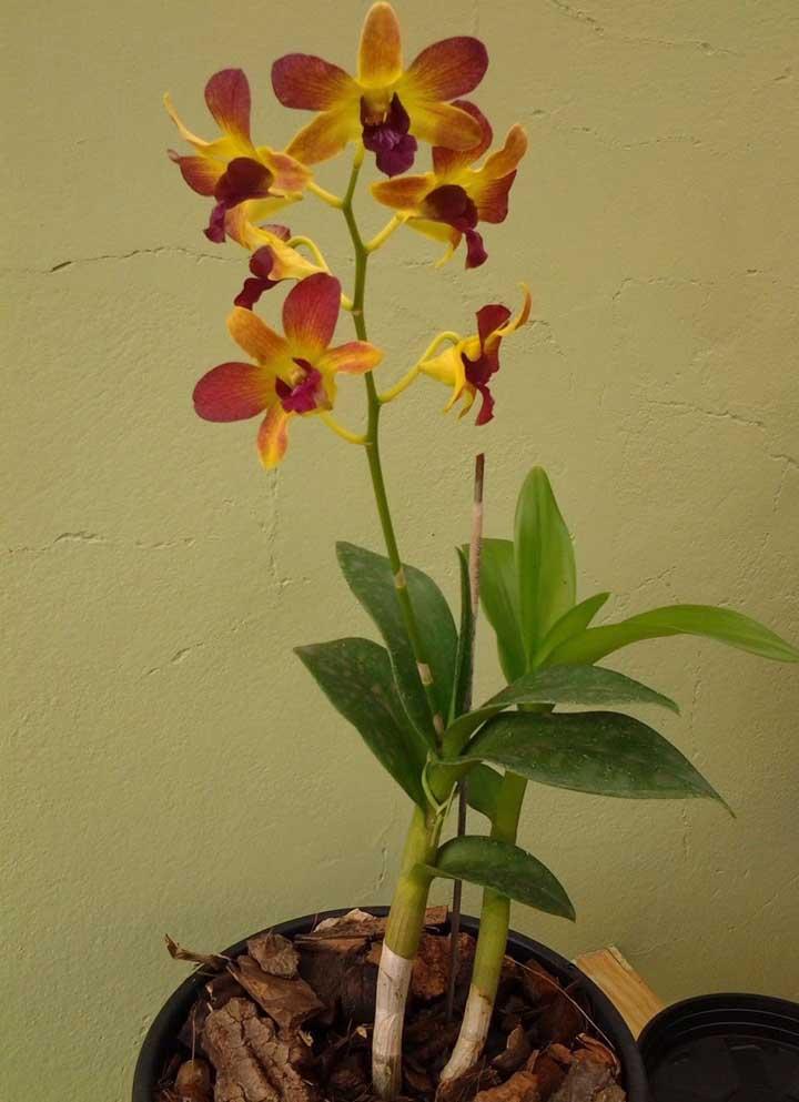 Orquídea Denphal: essa orquídea é uma entre as várias pertencentes ao gênero Dendobrium. A floração intensa e as cores apresentadas por essa orquídea são um de seus maiores destaques
