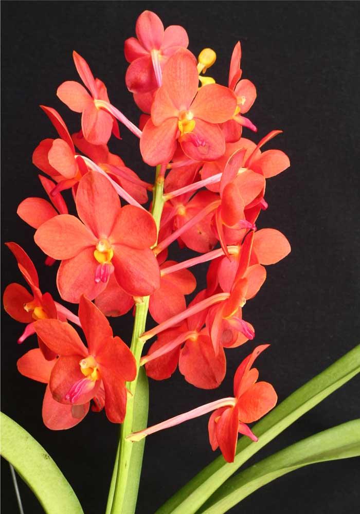 Orquídea Hibrida: os cuidados com uma orquídea hibrida são os mesmos com qualquer outro tipo de orquídea, mas o ideal é você saber a partir de quais espécies sua orquídea foi originada, assim é possível cultivá-la de modo mais adequado