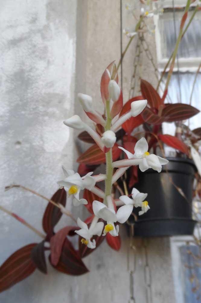 Orquídea Ludisia é a única espécie do gênero e chama atenção principalmente pela beleza das suas folhas, mescladas entre tons de vermelho e verde