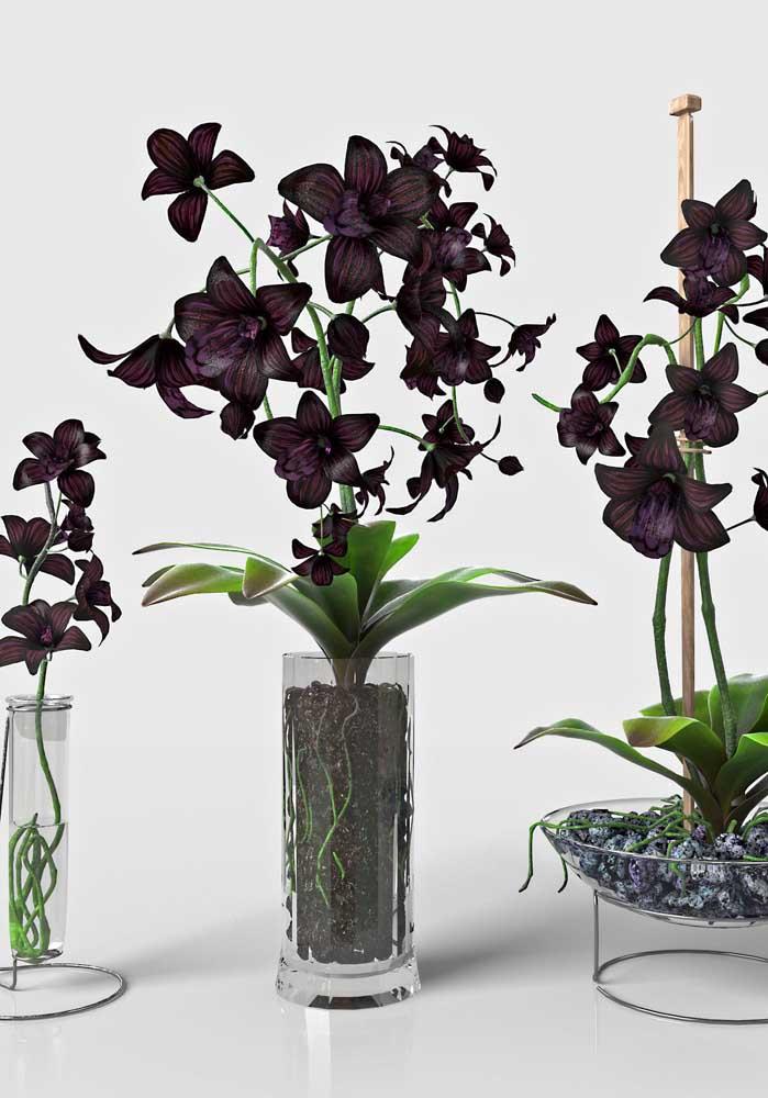 Orquídea Negra: impossível não se encantar pela rara e linda orquídea negra, essa espécie é natural do estado do Espirito Santo, no Brasil
