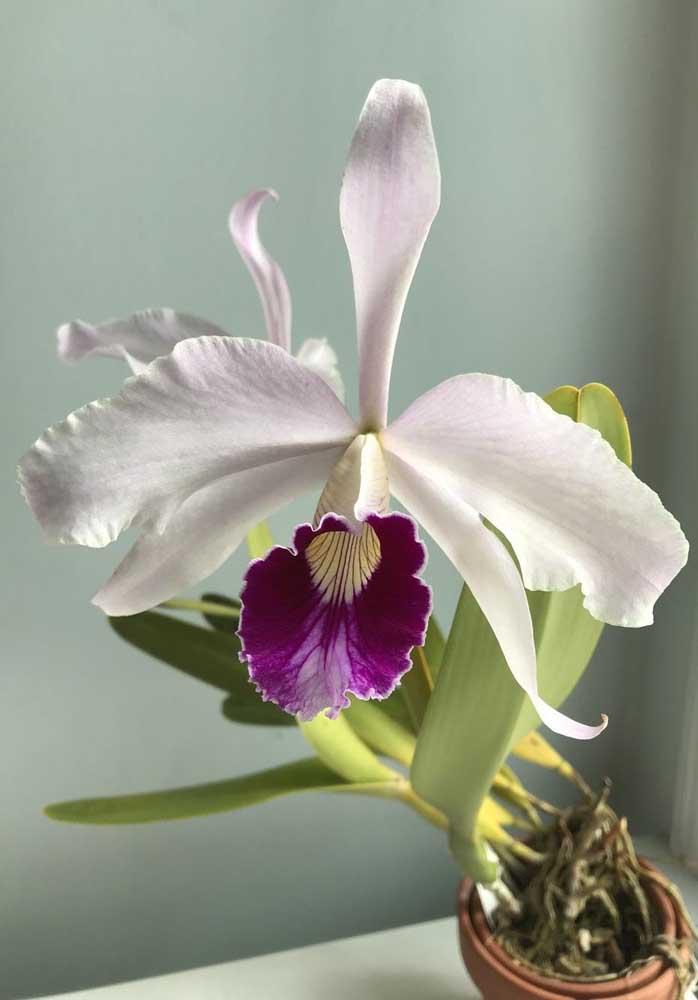 Orquídea Princesa do Sul: essa espécie é natural dos estados do Sul e Sudeste do Brasil, sendo, inclusive, a flor símbolo do estado de Santa Catarina