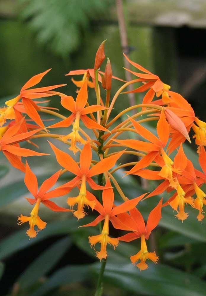 Orquídea Terrestre: as orquídeas terrestres são aquelas que crescem diretamente na terra, sobre húmus ou folhas, mas também podem ser cultivadas em vasos. Essas orquídeas são ideais para paisagismo externo de jardins