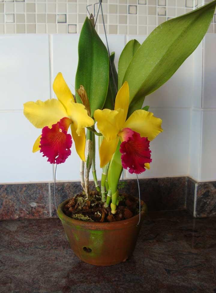 A Tipmalee pode florescer por até dois meses, quando bem cuidada