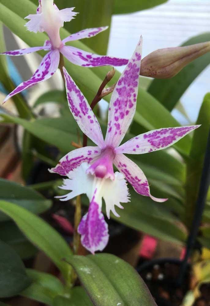 A orquídea Barkeria é uma espécie de pequeno porte natural da América Central, em países como México, Guatemala e Costa Rica