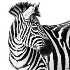 zebra-obraz-na-ścianę