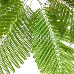 Duże zielone tropikalne liście na białym tle