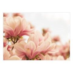 plakat-rozowe-magnolie