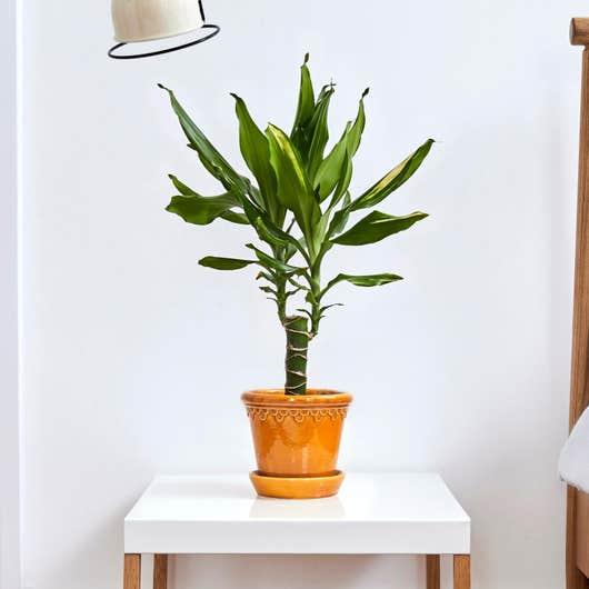Dragonnier Dracaena Fragrans plante dépolluante