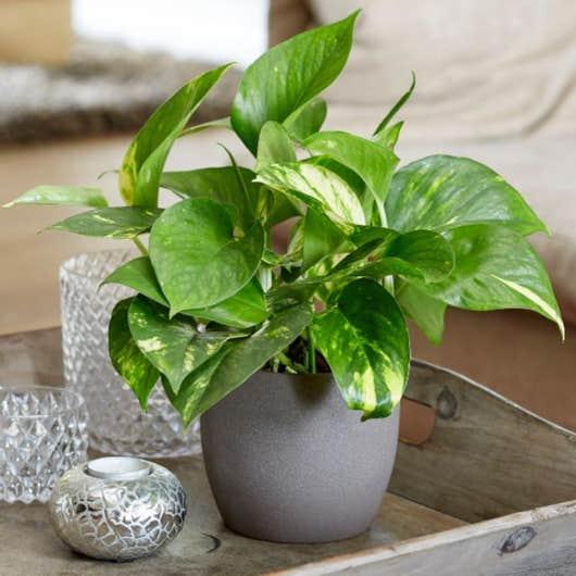 plantes dépolluantes Lierre du diable Golden Pothos
