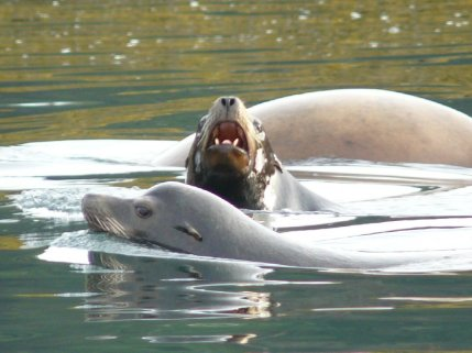 Herring Spawn and Sea Lions