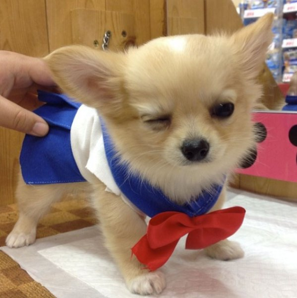 Sailor-moon-dog-cosplay-01