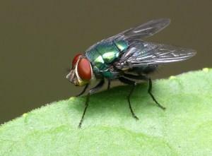 Curiosidades sobre a mosca