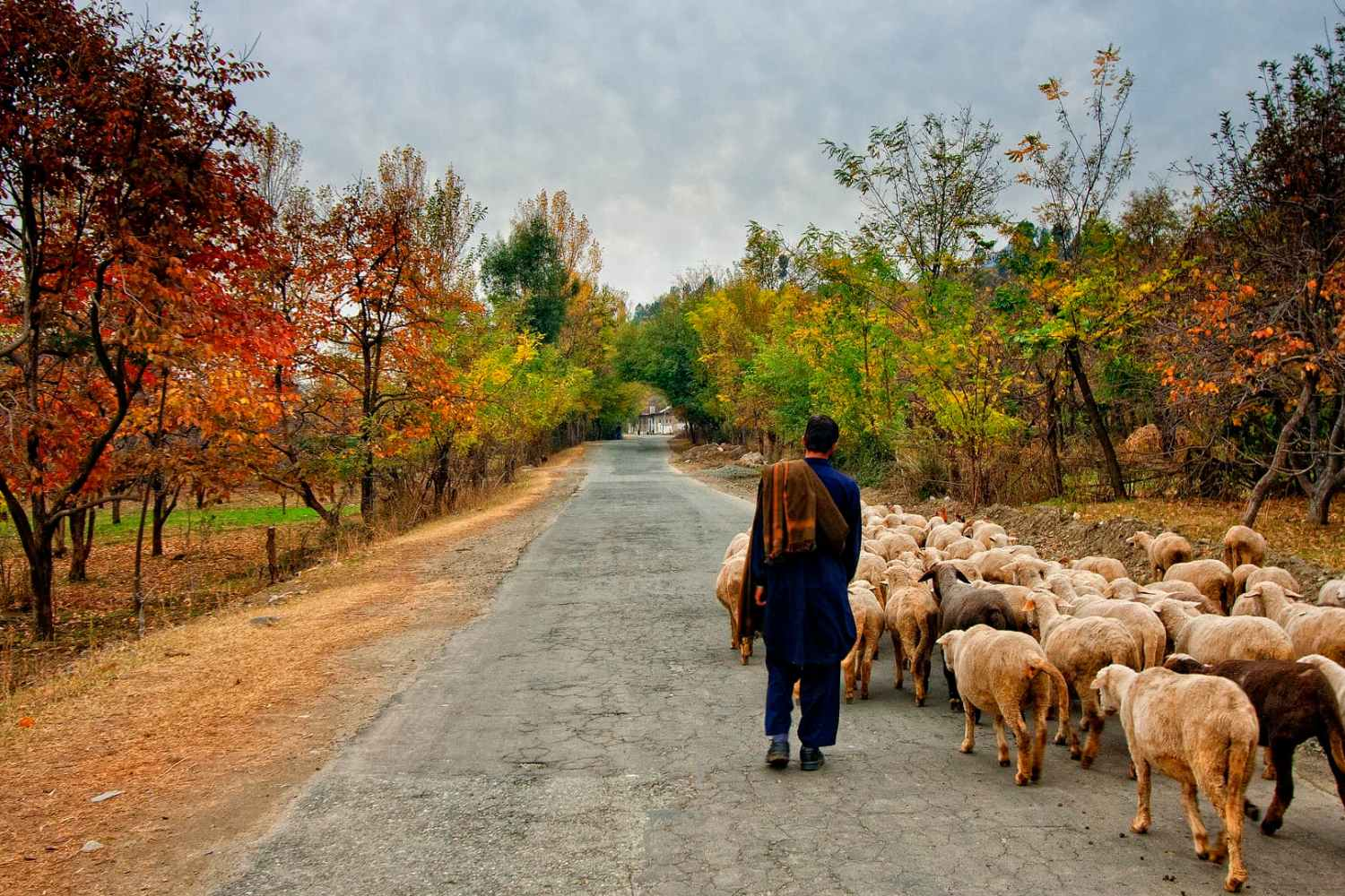 A shepherd boy heading home with his sheep in Swat Valley