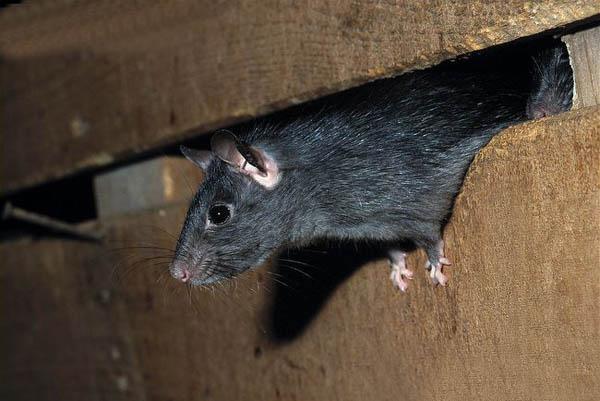 Rato preto é da espécie residente e se abriga nos telhados.