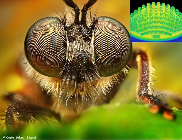 Comparação entre a câmera e o olho de um inseto ampliado. Foto do inseto: Ondrej Pakan. Foto da câmera: Universidade de Illinois e Instituto Beckman)