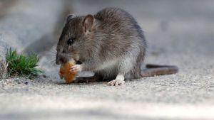 Como Lidar com Infestação de Ratos em Condomínios