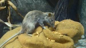 Como Manter Ratos Longe da sua Casa