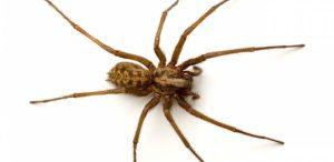 Como se Prevenir da Aranha Marrom?