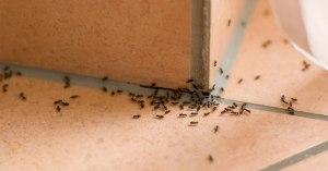 Métodos Eficientes para Eliminar as Formigas Doceiras