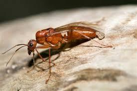 Superpoderes Conheça as Formigas Voadoras